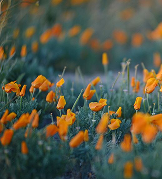Orange flowers on a field of tall green grass